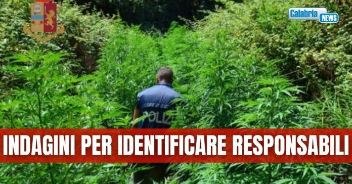 marijuana Gagliano