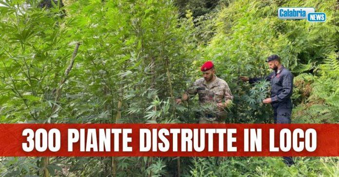 marijuana scoperta a roccella jonica